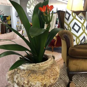 NZ locally grown clivia plant